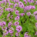 Phuopsis stylosa - Perzische Kruisjesplant - Phuopsis stylosa