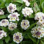 Phyla nodiflora - Kruipende verbena - Phyla nodiflora
