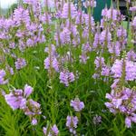 Physostegia virginiana 'Bouquet Rose' - Scharnierbloem