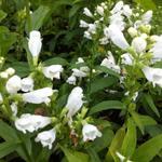 Scharnierbloem - Physostegia virginiana 'Summer Snow'