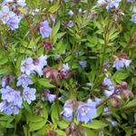 Polemonium reptans 'Blue Pearl' - Jacobsladder, Griekse valeriaan - Polemonium reptans 'Blue Pearl'