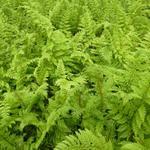 Zachte naaldvaren - Polystichum setiferum 'Plumoso-densum'