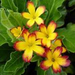 Primula 'Oak Leaf Yellow Picotee' - Sleutelbloem - Primula 'Oak Leaf Yellow Picotee'