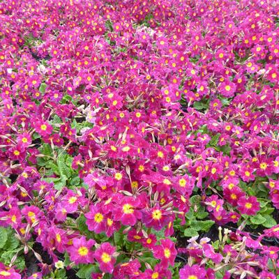Primula juliae 'Ideaal' -
