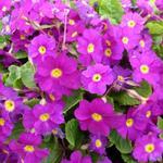 Primula 'Wanda' - Sleutelbloem - Primula 'Wanda'