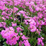 Primula rosea 'Grandiflora' - Sleutelbloem - Primula rosea 'Grandiflora'
