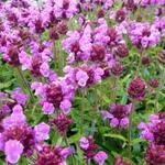 Prunella grandiflora 'Altenberg Rosa' - Bijenkorfje/Heelkruid - Prunella grandiflora 'Altenberg Rosa'