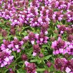 Prunella x webbiana 'Gruss aus Isernhagen' - Bijenkorfje/Heelkruid - Prunella x webbiana 'Gruss aus Isernhagen'