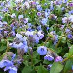 Longkruid - Pulmonaria angustifolia 'Blue Ensign'