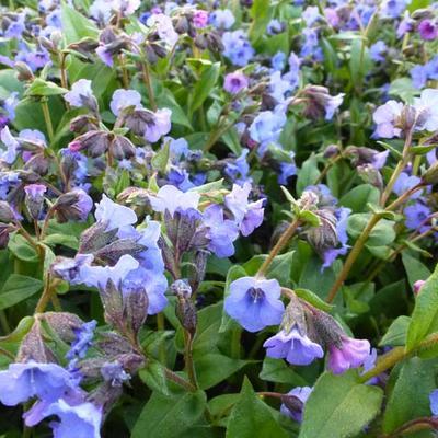 Pulmonaria angustifolia 'Blue Ensign' - Longkruid - Pulmonaria angustifolia 'Blue Ensign'