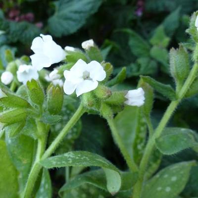Pulmonaria officinalis 'Sissinghurst White' - Gevlekt longkruid - Pulmonaria officinalis 'Sissinghurst White'