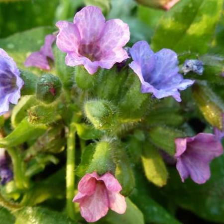 Pulmonaria officinalis 'Wuppertal'