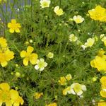Ranunculus acris 'Sulphureus' - Scherpe boterbloem / Gouden knoopje - Ranunculus acris 'Sulphureus'