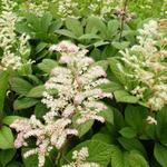 Rodgersia aesculifolia - Kijkblad, Schout bij Nacht - Rodgersia aesculifolia