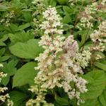 Rodgersia sambucifolia - Kijkblad, Schout bij Nacht - Rodgersia sambucifolia