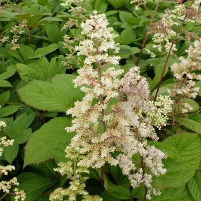 Rodgersia sambucifolia -
