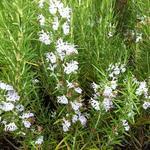 Rozemarijn - Rosmarinus officinalis f. albiflorus
