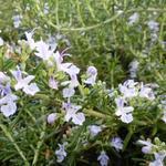 Rosmarinus officinalis 'Capri' -  Kruiprozemarijn - Rosmarinus officinalis 'Capri'
