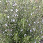Rosmarinus officinalis 'Miss Jessopp's Upright' - Rozemarijn - Rosmarinus officinalis 'Miss Jessopp's Upright'
