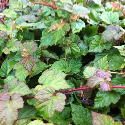 Rubus tricolor - Braambes, Chinese braambes - Rubus tricolor