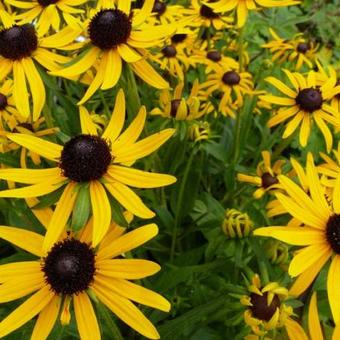 Rudbeckia  fulgida 'Little Goldstar'