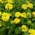 Rudbeckia laciniata 'Goldquelle' - Zonnehoed - Rudbeckia laciniata 'Goldquelle'