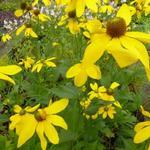 Zonnehoed - Rudbeckia nitida 'Herfstsonne'