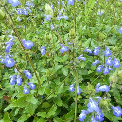Salvia forreri -
