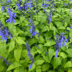 Salvia coerulea 'Black and Blue' - Salie