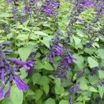 Salie - Salvia 'Amistad'