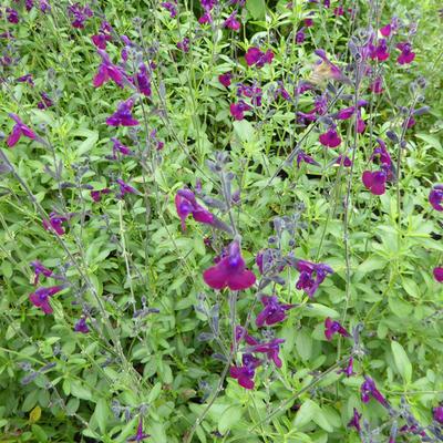 Salvia 'Nachtvlinder' -