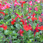 Salie - Salvia 'Royal Bumble'