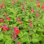 Salie - Salvia microphylla