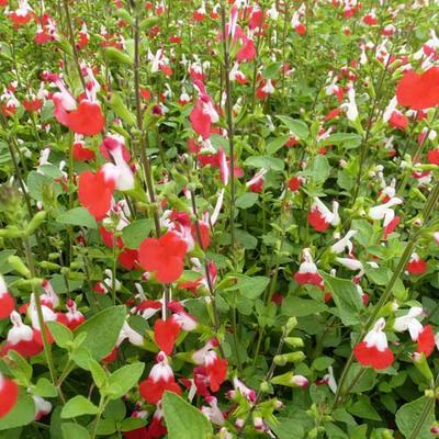 Salvia x jamensis 'Hot Lips' - Salie, struiksalie - Salvia x jamensis 'Hot Lips'