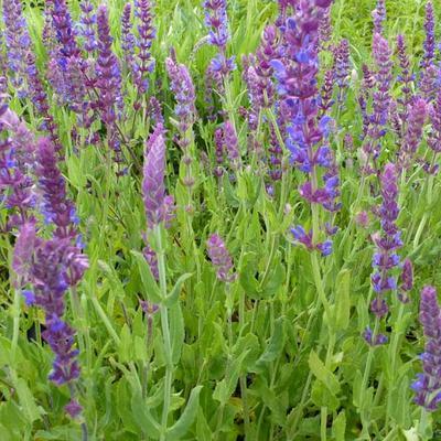 Salvia nemorosa -