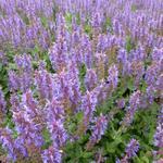 Salie - Salvia nemorosa 'Blauhügel'