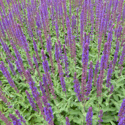 Salvia nemorosa 'Caradonna' - Salie - Salvia nemorosa 'Caradonna'