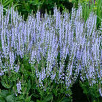 Salie - Salvia nemorosa 'Crystal Blue'