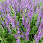 Salvia nemorosa 'Lubeca' - Salie - Salvia nemorosa 'Lubeca'