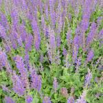 Salvia x sylvestris 'Mainacht' - Salie - Salvia x sylvestris 'Mainacht'