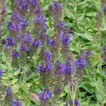 Salvia nemorosa 'Marcus' - Salie - Salvia nemorosa 'Marcus'