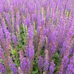 Salvia nemorosa 'Ostfriesland' - Salie - Salvia nemorosa 'Ostfriesland'