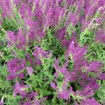 Salie - Salvia nemorosa 'Schwellenburg'
