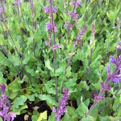 Salvia pratensis 'Twilight Serenade' -