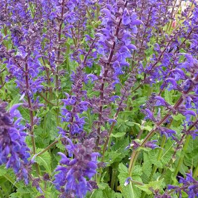 Salvia nemorosa 'Viola Klose' - Salie - Salvia nemorosa 'Viola Klose'