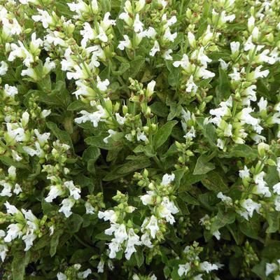 Salvia officinalis 'Albiflora' -
