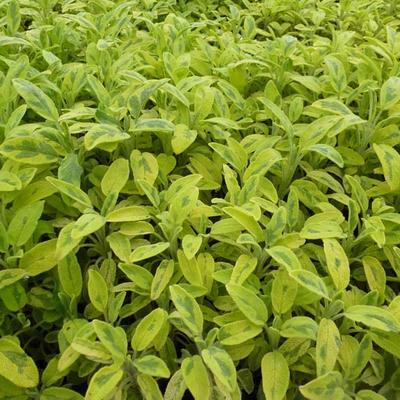Salvia officinalis 'Aurea' - Salie, Smalbladige salie - Salvia officinalis 'Aurea'