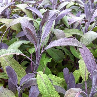 Salvia officinalis 'Purpurascens' - Salie, keukensalie - Salvia officinalis 'Purpurascens'