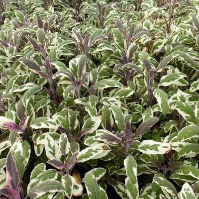 Salvia officinalis 'Tricolor' - Salie - Salvia officinalis 'Tricolor'