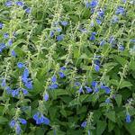 Salvia patens 'Royal Blue' - Mexicaanse salie - Salvia patens 'Royal Blue'